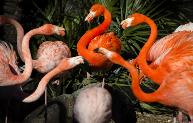 Réunion de flamants roses